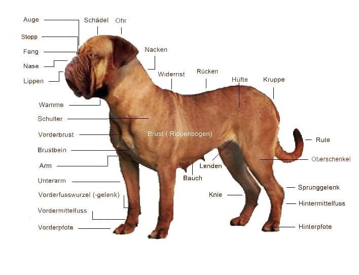 Morphologie-der-Bordeaux Dogge