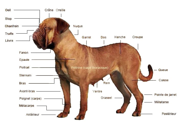 Morphologie-du-dogue-de-Bordeaux