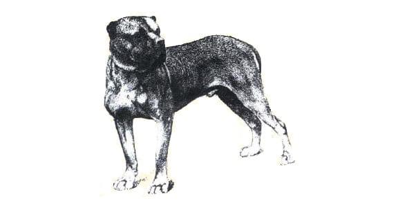 Illustration de 1880 Bataille doit son surnom « L'Invincible » à son invincibilité lors des combats d'ours organisés dans les Pyrénées françaises et espagnoles. A cette époque, les dogues de Bordeaux s'appelaient encore Douge de Midi et Dogo di Bourgos ou Dogo Spagnolo en Espagne.