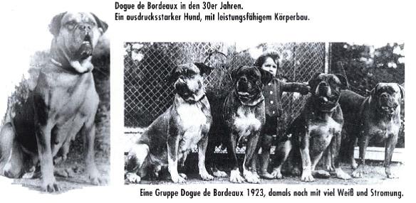 Le Dogue de Bordeaux en 1923, à cette époque avec beaucoup de blanc aux pattes, sur le poitrail et sur la robe.