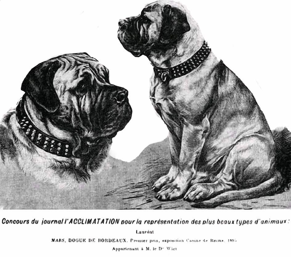 Concours du journal l'ACCLIMATATION pour la représentation des plus beaux types Lauréat : MARS, DOGUE DE BORDEAUX, Premier prix, exposition canine de Reims, 1893 Appartenant à M. le Dr. Wiel