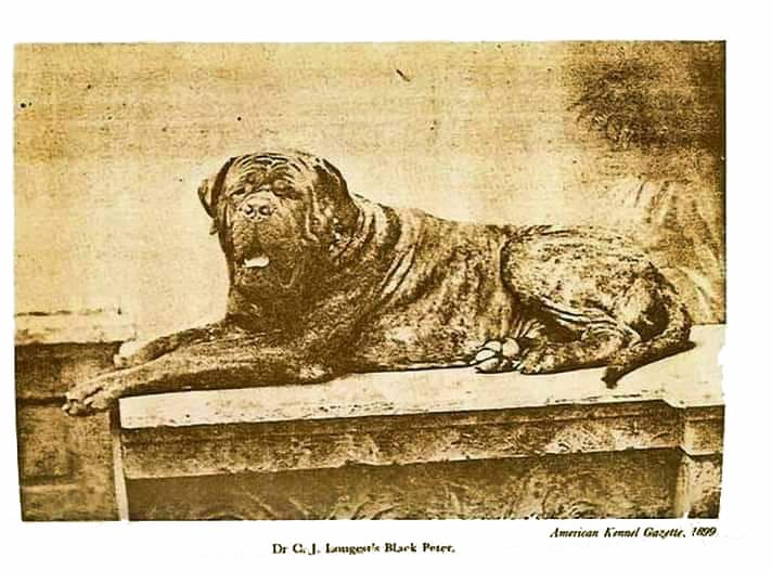 Bordeaux Dogge um 1899 Dogue de Bordeaux